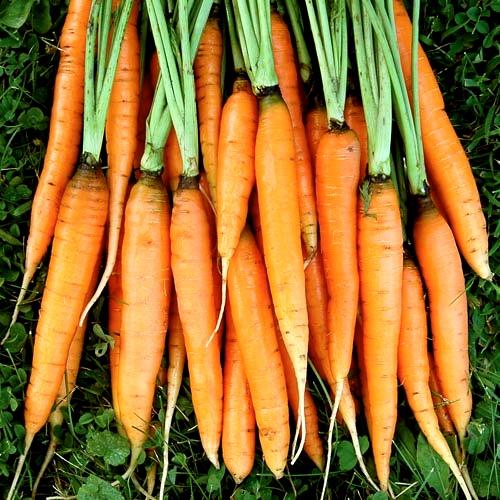 Organic, Non-GMO Scarlet Nantes Seed