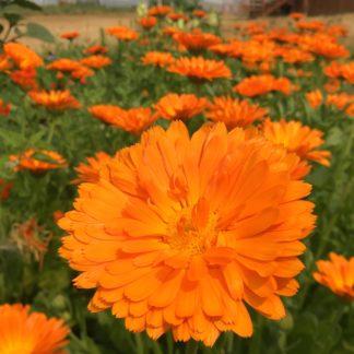Organic, Non-GMO calendua Seed