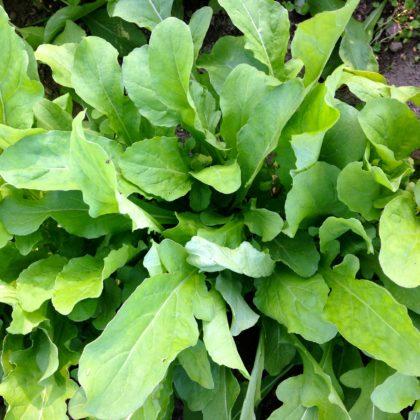 Organic, Non-GMO Arugula Seed