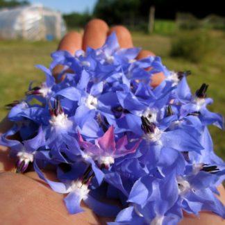 Organic, Non-GMO Borage Seed