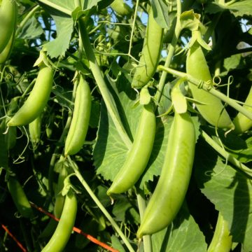 Snap Pea Seeds
