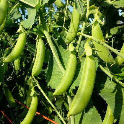 Organic, Non-GMO Snap Pea Seed