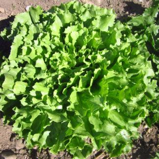 Organic, Non-GMO Escarole Seed