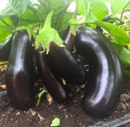 Organic, Non-GMO Eggplant Seed