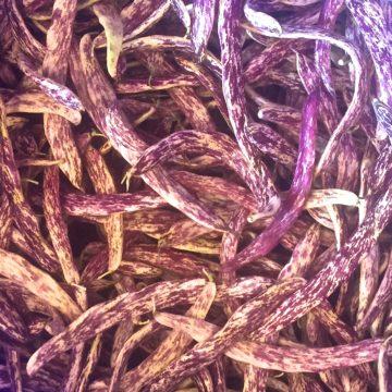 Organic, Non-GMO Bush Bean Seed