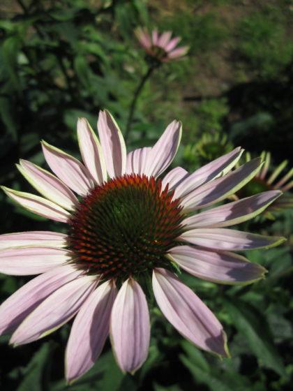 Organic, Non-GMO Echinacea Seed