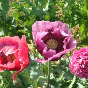 French Flounce Poppies