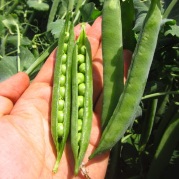 Organic, Non-GMO Shelling Pea Seed