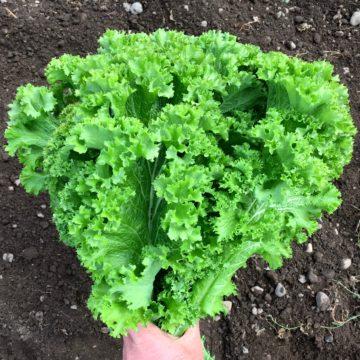 Organic, Non-GMO Mustard Seed