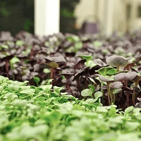 Microgreens
