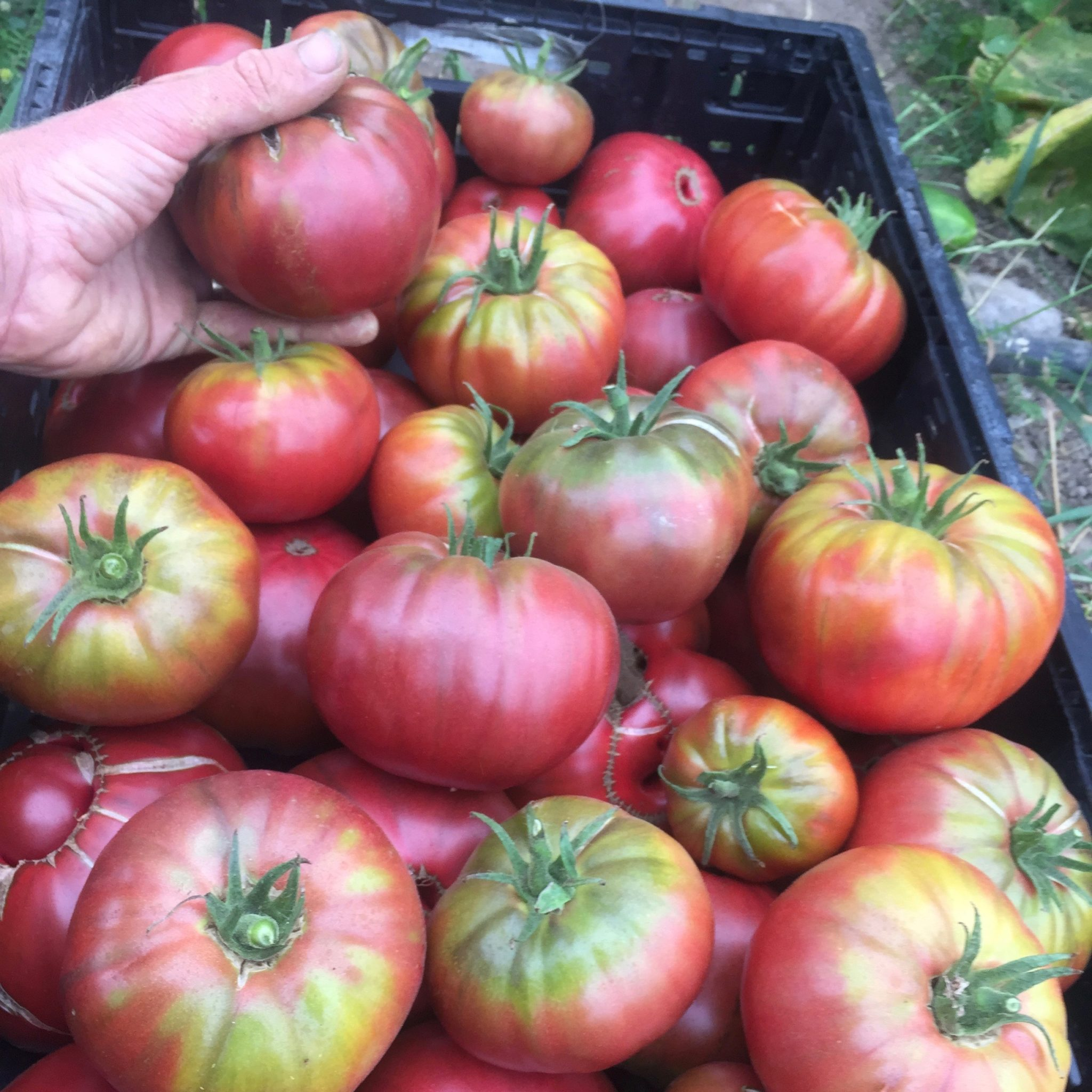 Vegetable Tomato Cherokee Purple 10 Seeds