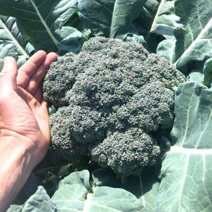 Organic, Non-GMO Broccoli Seed