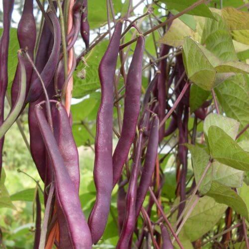 Organic, Non-GMO Pole Bean Seed