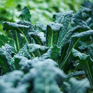 Organic, Non-GMO Kale Seed