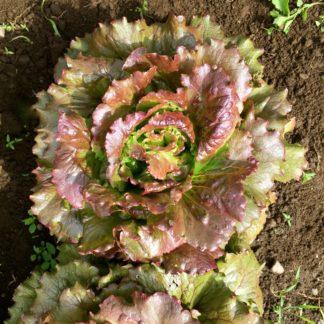 Magenta lettuce3