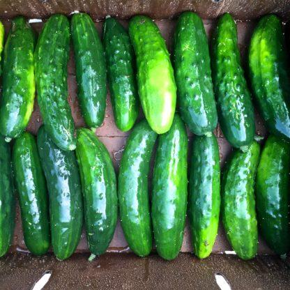 Organic, Non-GMO Cucumber Seed