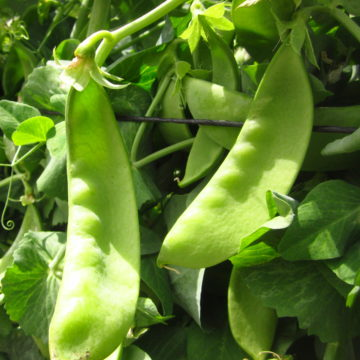 Snow Pea Seeds