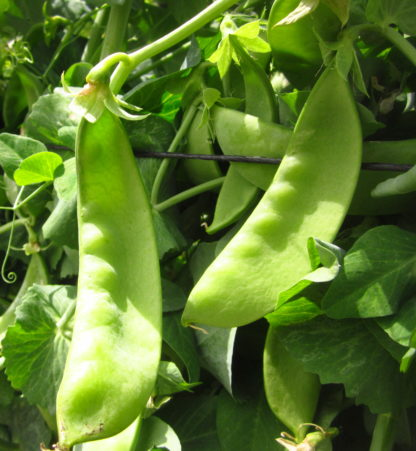 Organic, Non-GMO Snow Pea Seed