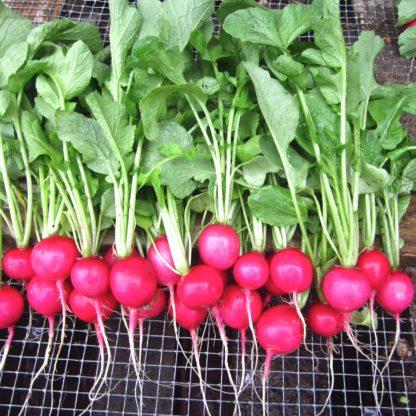 Organic, Non-GMO Pink Beauty Seed