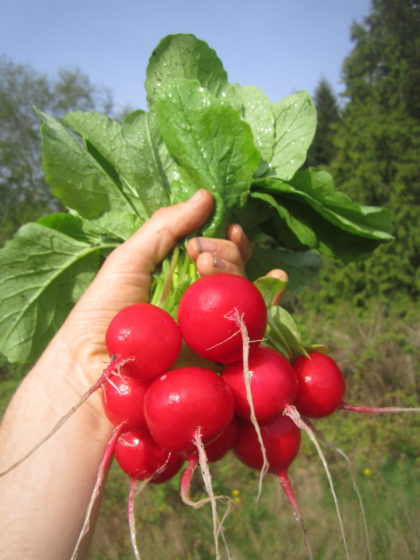 Organic, Non-GMO Radish Seed