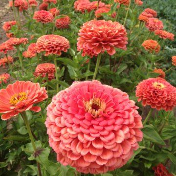 Organic, Non-GMO Zinnea Seed