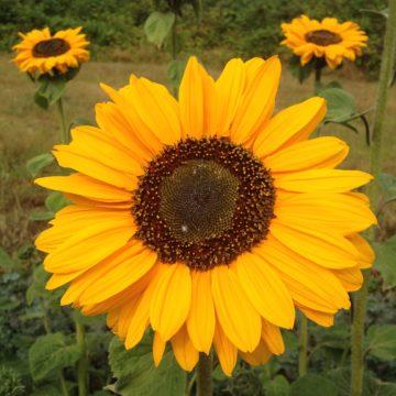 Organic, Non-GMO Sunflower Seed