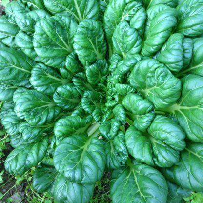 Organic, Non-GMO Tatsoi Seed