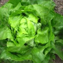 Organic, Non-GMO Lettuce seed