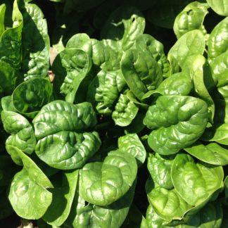 Organic, Non-GMO Spinach Seed