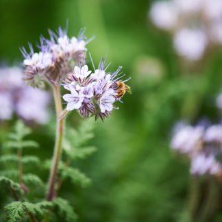 Organic, Non-GMO Phacelia Seed